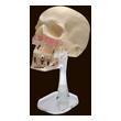Модель черепа